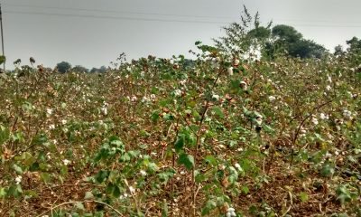 Why Farmers Are Growing Cotton When Water Is Scarce